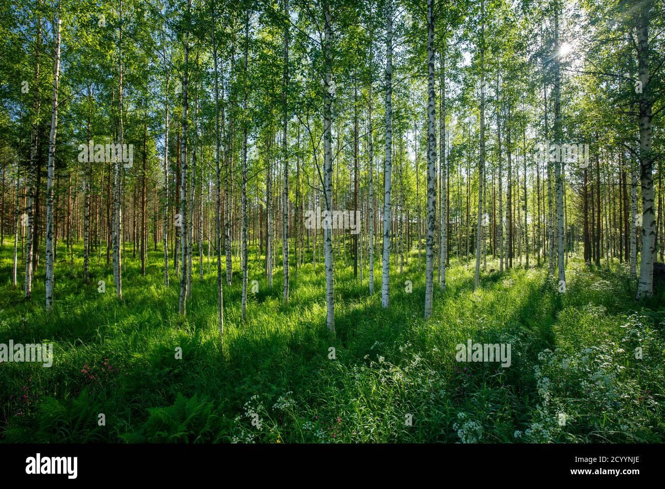 Jeune forêt de bouleau européen à éclaircie à été, Finlande Banque D'Images