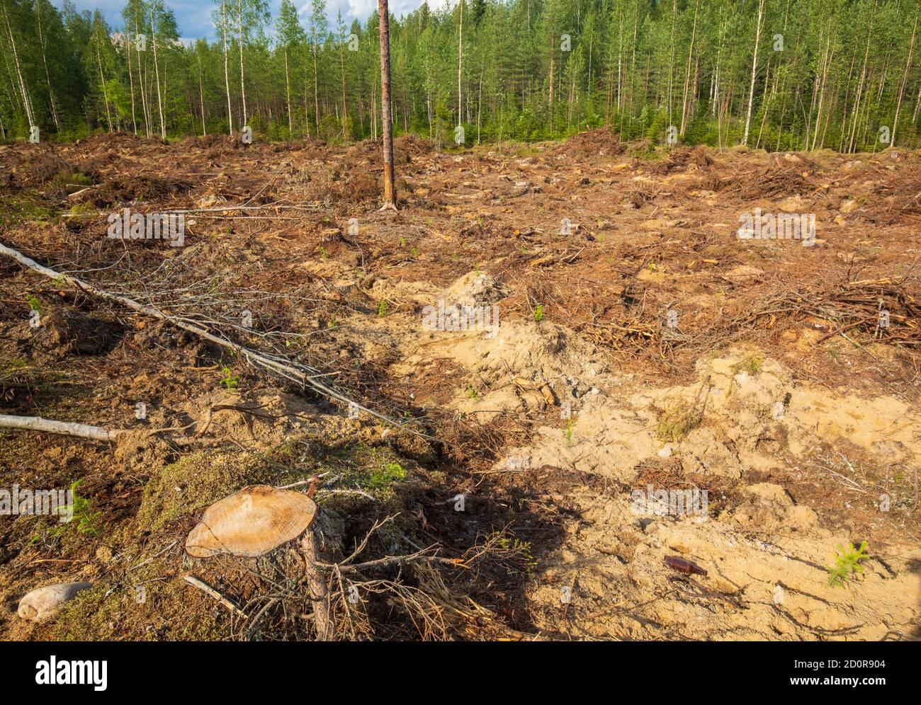 Vue d'une zone européenne de coupe claire fraîche , où le sol a été préparé et de nouveaux arbres semés , Finlande Banque D'Images