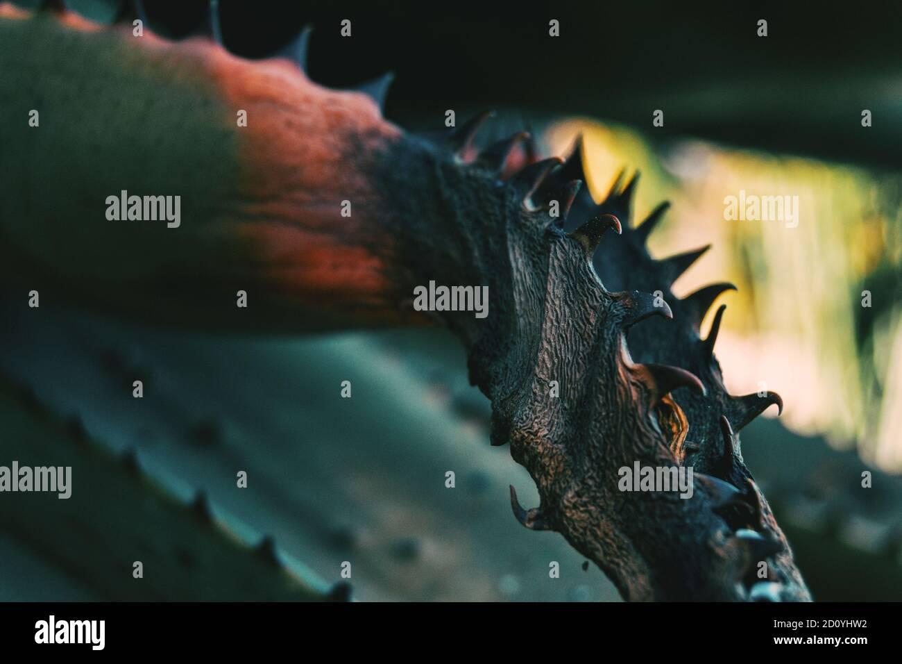 Détail d'une plante semi-dentée flétri avec texture ridée Banque D'Images