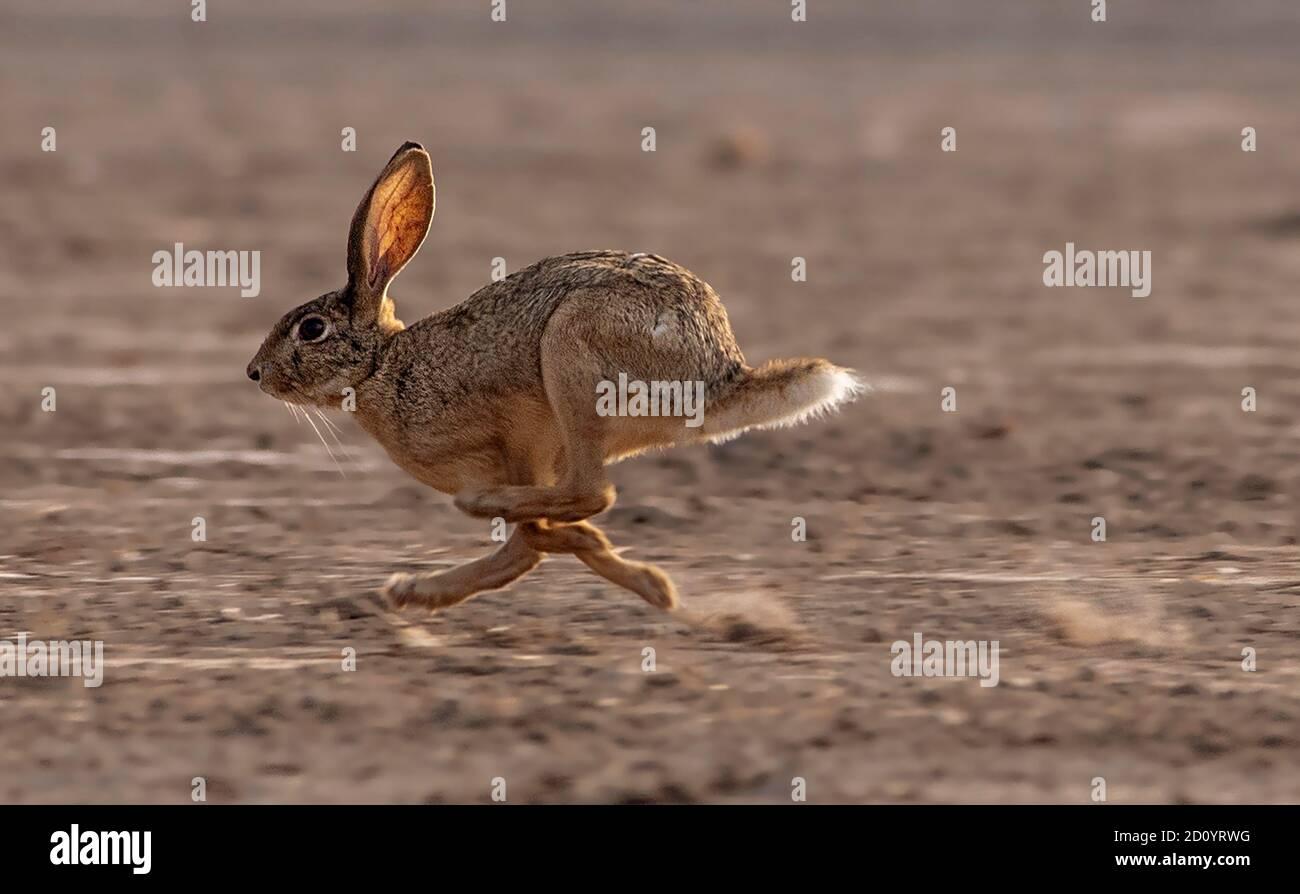 Les lièvres (Lepus) et les lapins sont des léporidés appartenant au genre Lepus. Les lièvres sont classées dans la même famille que les lapins. Banque D'Images