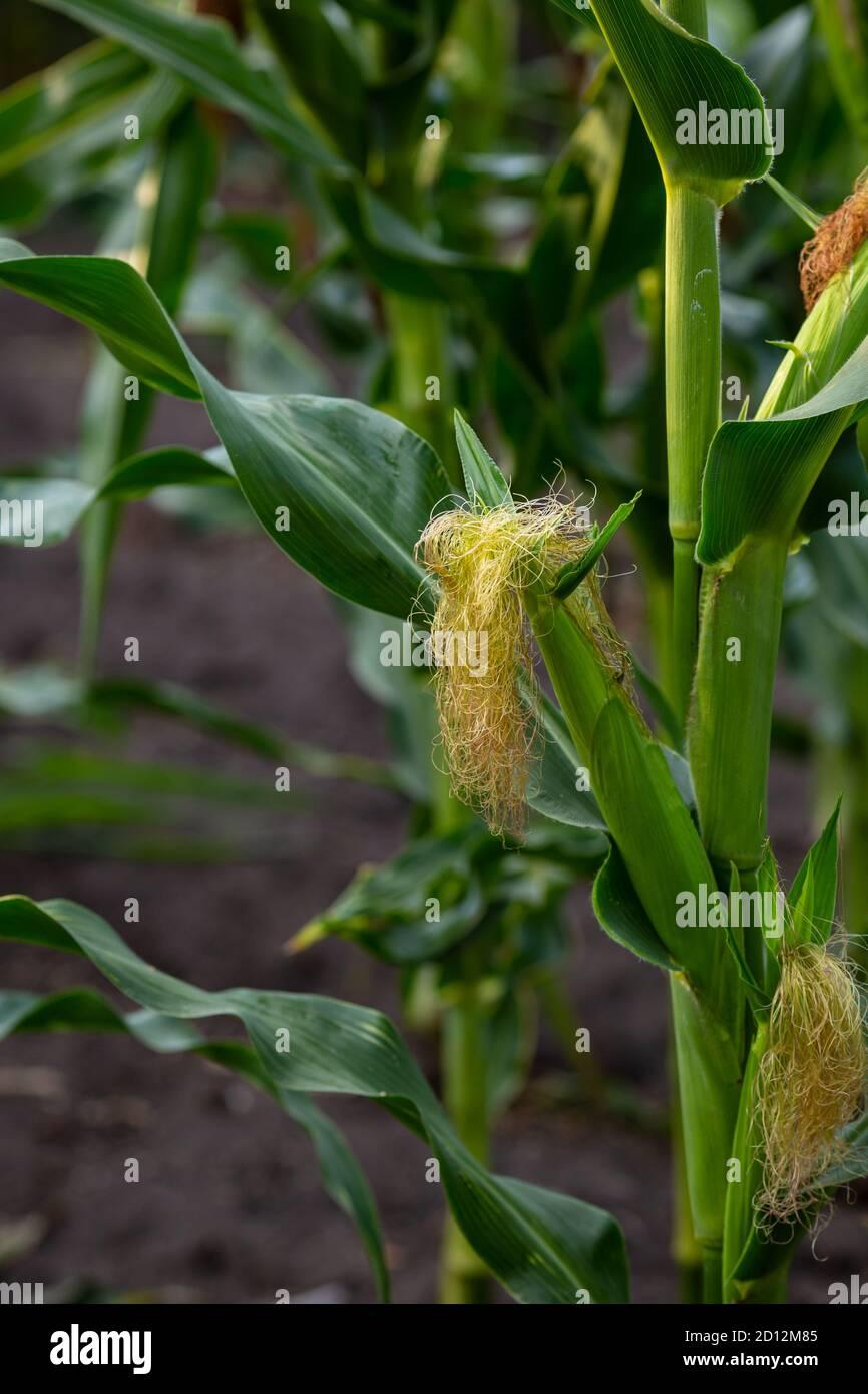 Gros plan de maïs vert sur la rafle extérieur, nature Banque D'Images