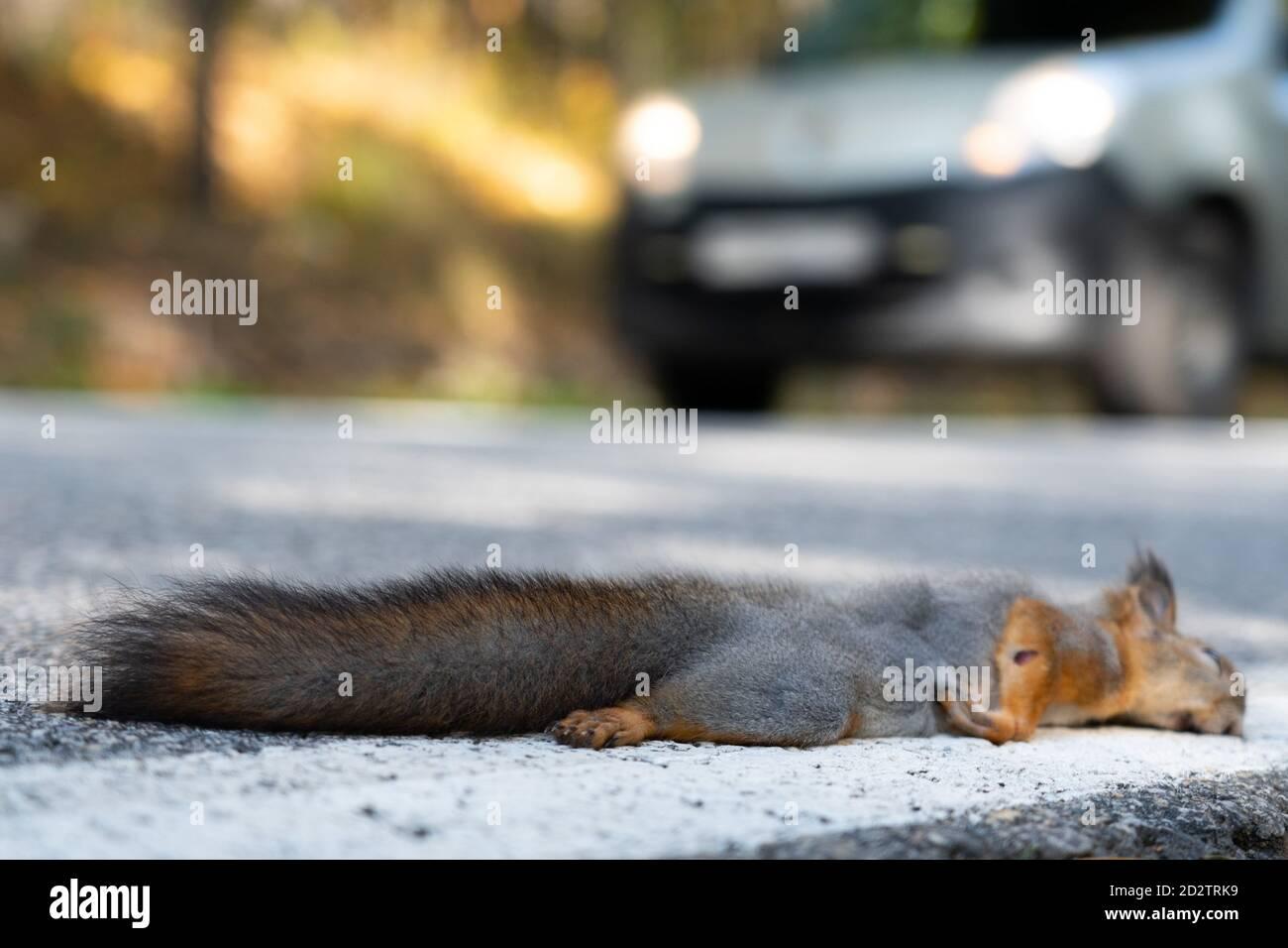 Un écureuil mort se trouve sur la route, juste été tué par une voiture Banque D'Images