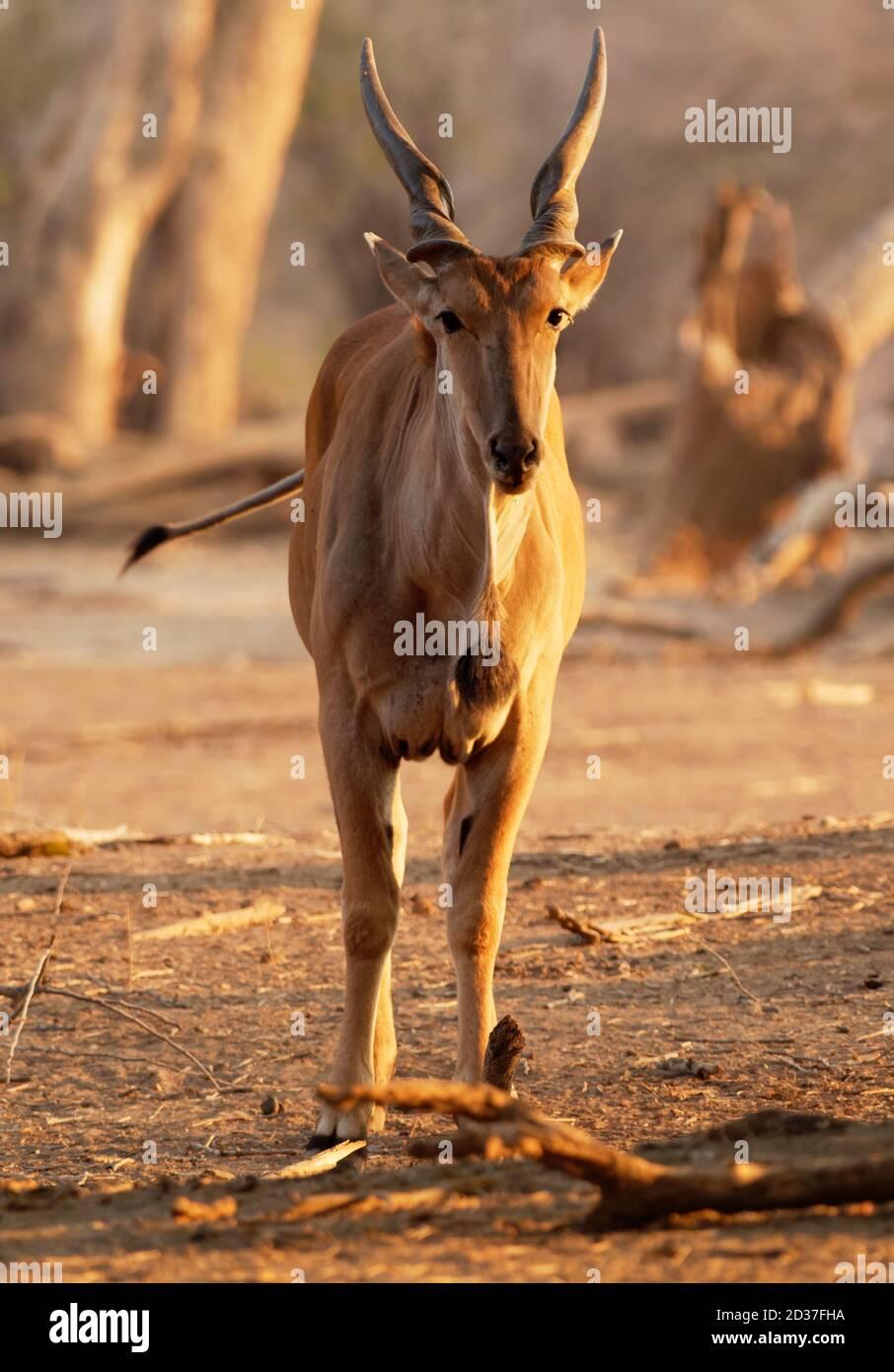 Éland commun - Taurotragus oryx éland du Cap sud de l'éland, l'antilope ou plaines de savane et les antilopes trouvés en Afrique orientale et australe, Bovi Banque D'Images