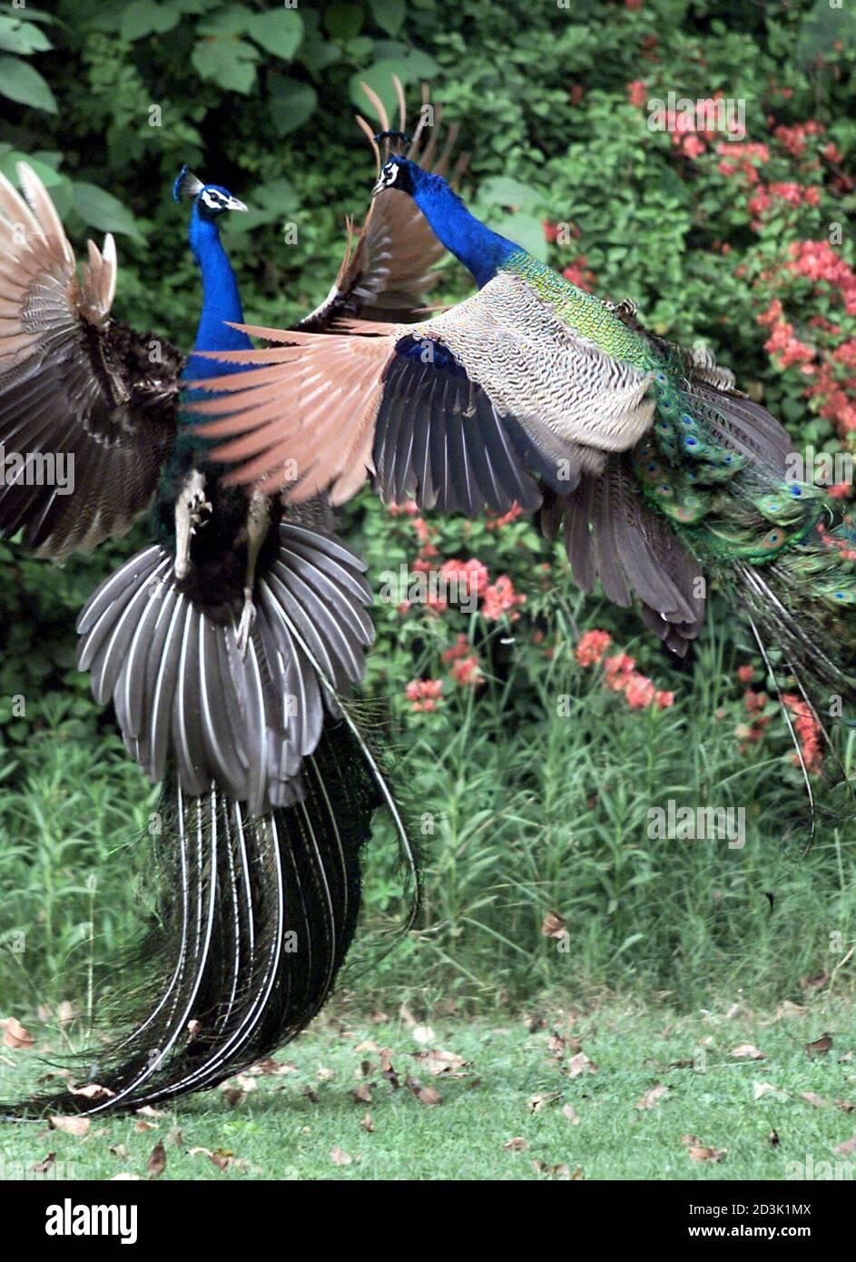 Deux paons se battent dans un parc de la capitale indienne New Delhi le 11 avril 2001. Le paon, désigné par le gouvernement comme l'oiseau national de l'Inde, est l'une des 1,288 espèces d'oiseaux qui vivent à travers le pays. PK/CP Banque D'Images