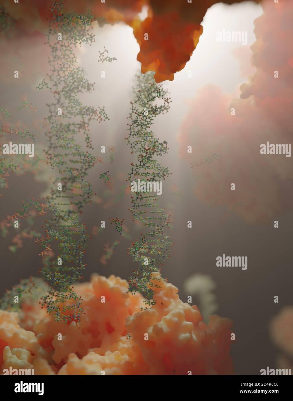 Le monde à l'intérieur d'une cellule humaine. Des chaînes d'ADN, des nucléotides (formant des paires de bases dans l'ADN) et des protéines à l'intérieur du noyau d'une cellule eucaryote. Banque D'Images