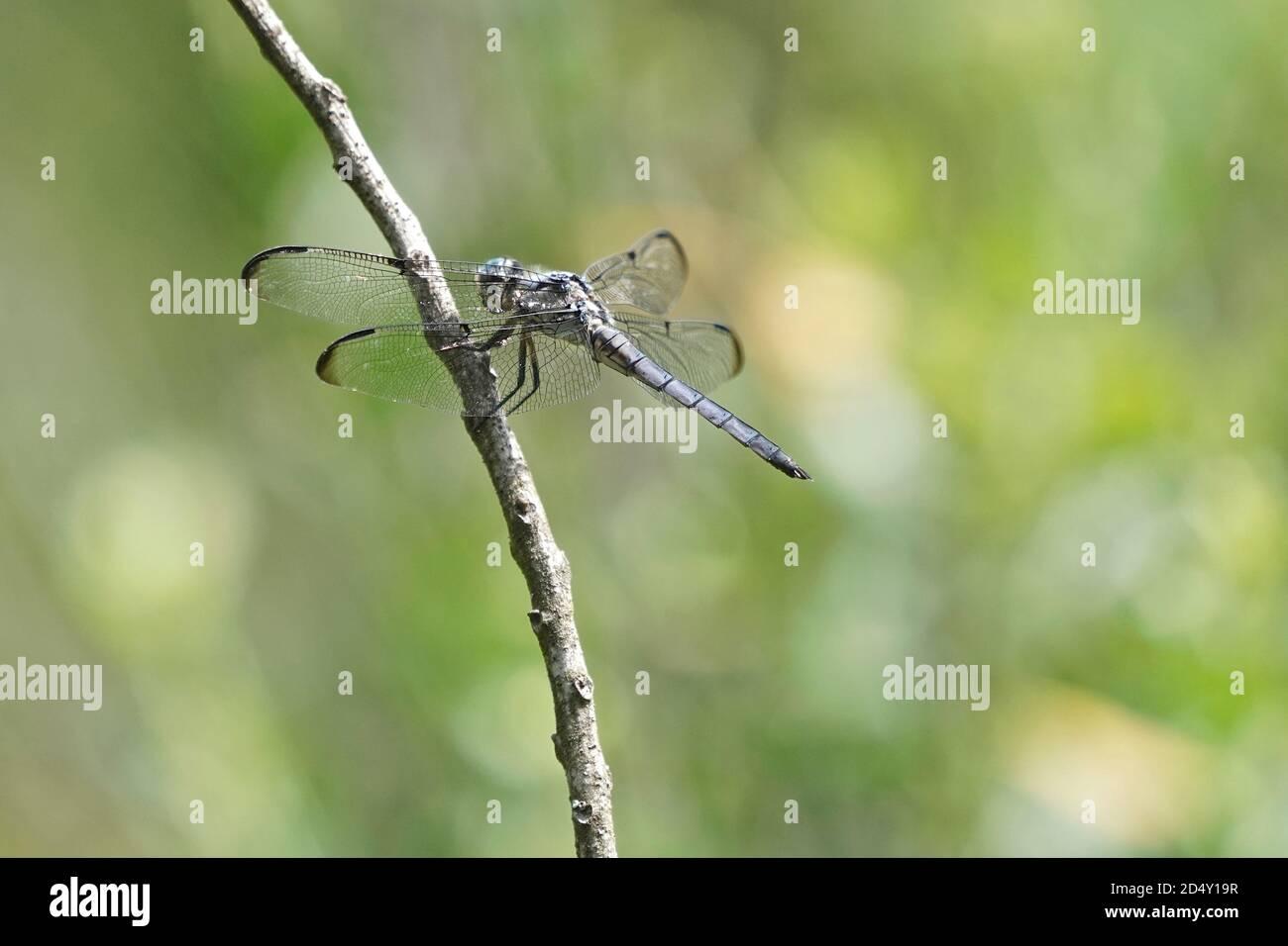 Dragonfly sur une tige de plante. Banque D'Images