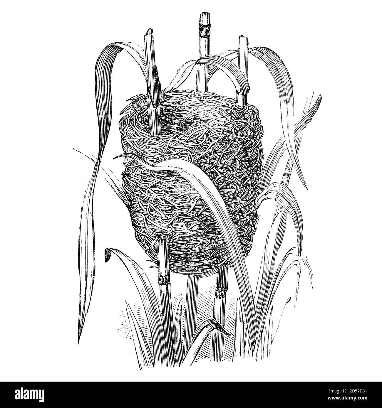 Nid d'oiseau de bunkting en roseau, illustration vintage. Extrait d'un livre antique « The Playtime Naturaliste » du Dr. J.E. Taylor, publié à Londres, Royaume-Uni, 1889. Banque D'Images