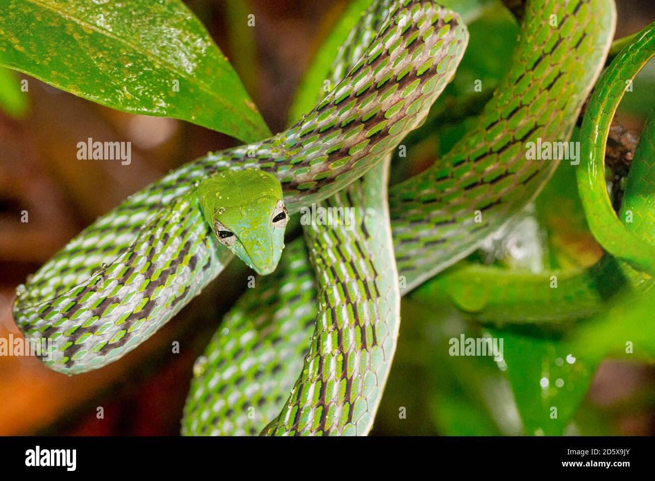 Serpent vert à vigne, serpent à long nez, Ahaetulla nasuta, forêt tropicale du parc national de Sinharaja, site du patrimoine mondial, UNESCO, Réserve de biosphère, Nation Banque D'Images