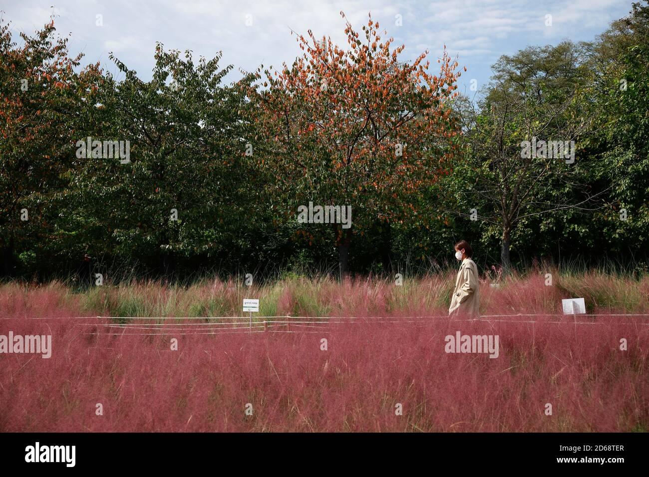 Séoul, Corée du Sud. 15 octobre 2020. Une femme passe devant un champ d'herbe rose muhly dans le parc olympique de Séoul, Corée du Sud, le 15 octobre 2020. Dimanche, la Corée du Sud a décidé de réduire ses directives de distanciation sociale à trois niveaux au niveau le plus bas, les cas quotidiens de COVID-19 étant restés relativement bas ces derniers jours. De nombreux résidents choisissent de venir dans les parcs pour des activités de plein air au cours de la saison d'automne. Crédit: Wang Jingqiang/Xinhua/Alay Live News Banque D'Images