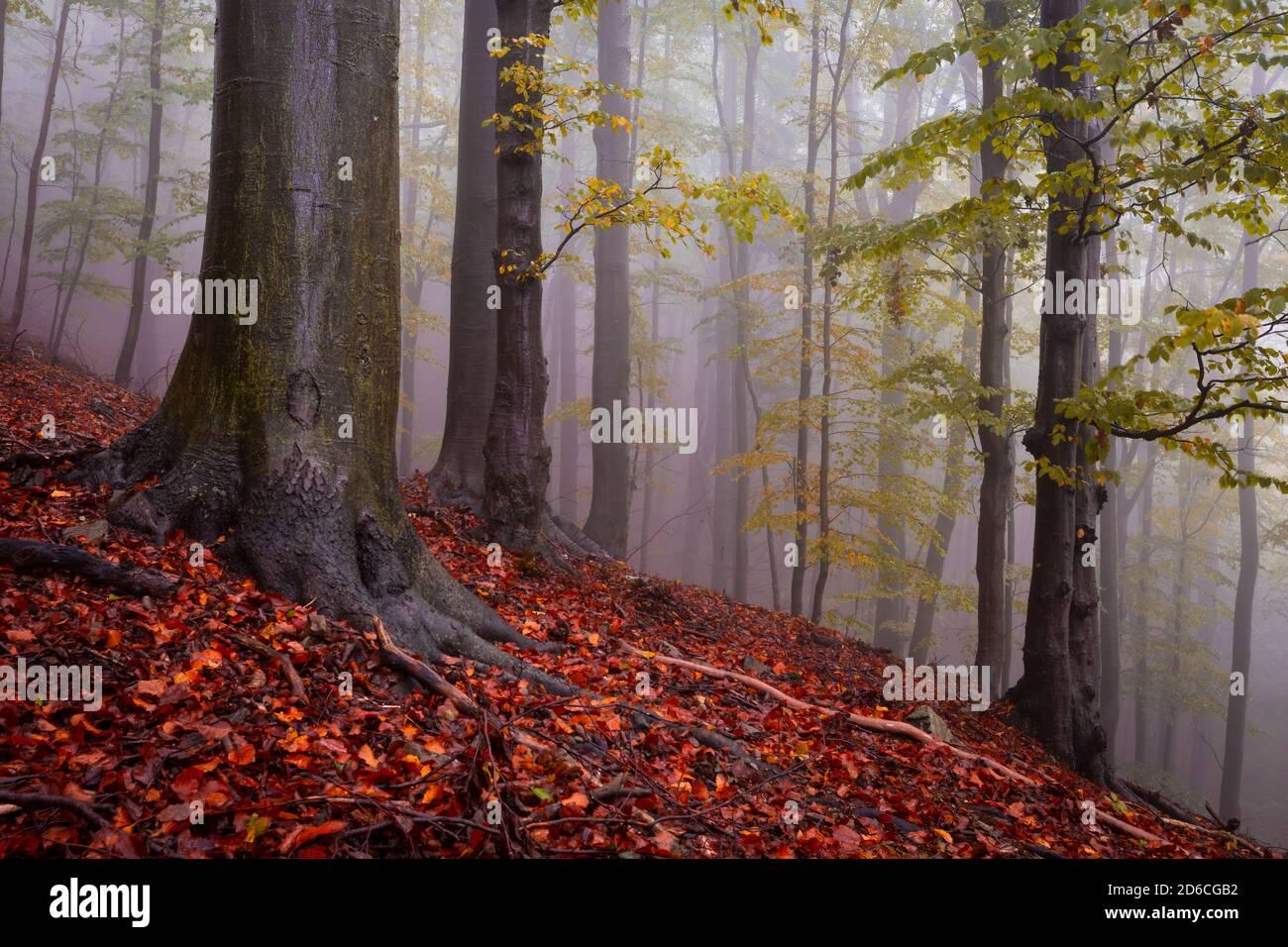 Forêt de hêtres dans le parc national de Mala Fatra par temps pluvieux, Slovaquie. Banque D'Images