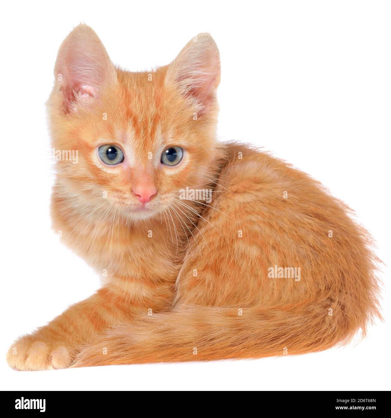 Le chaton orange se pose sur une vue latérale isolée sur un fond blanc. Banque D'Images
