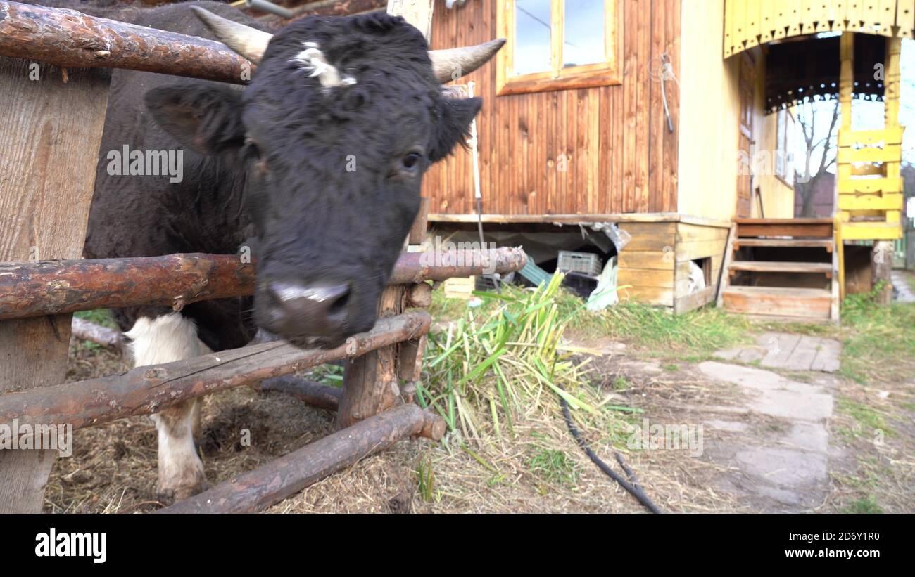 Le taureau tente de lécher la caméra avec sa langue. Banque D'Images