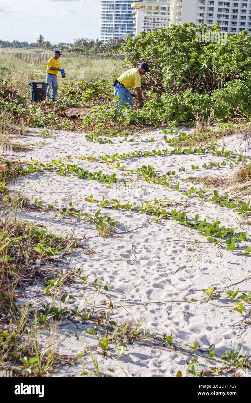 Travailleurs de la ville de Miami Beach en Floride, enlever enlever les dunes non indigènes de plantes envahissantes végétales protégées, Banque D'Images