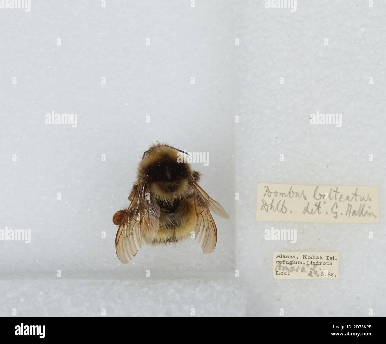 Kodiak Island Refugium, Kodiak Island, Alaska, États-Unis, Bombus sp., Animalia, Arthropoda, Insecta, Hyménoptères, Apidae, Apinae Banque D'Images