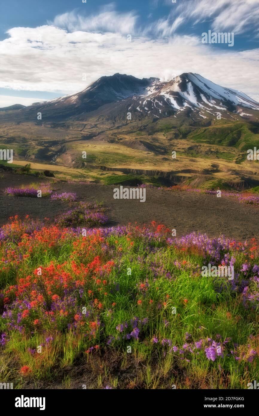 Les nuages du matin passent au-dessus de la fleur de pointe de penstemon violet Et un pinceau indien rouge le long de Johnston Ridge dans le Mount de Washington Na volcanique St Helens Banque D'Images