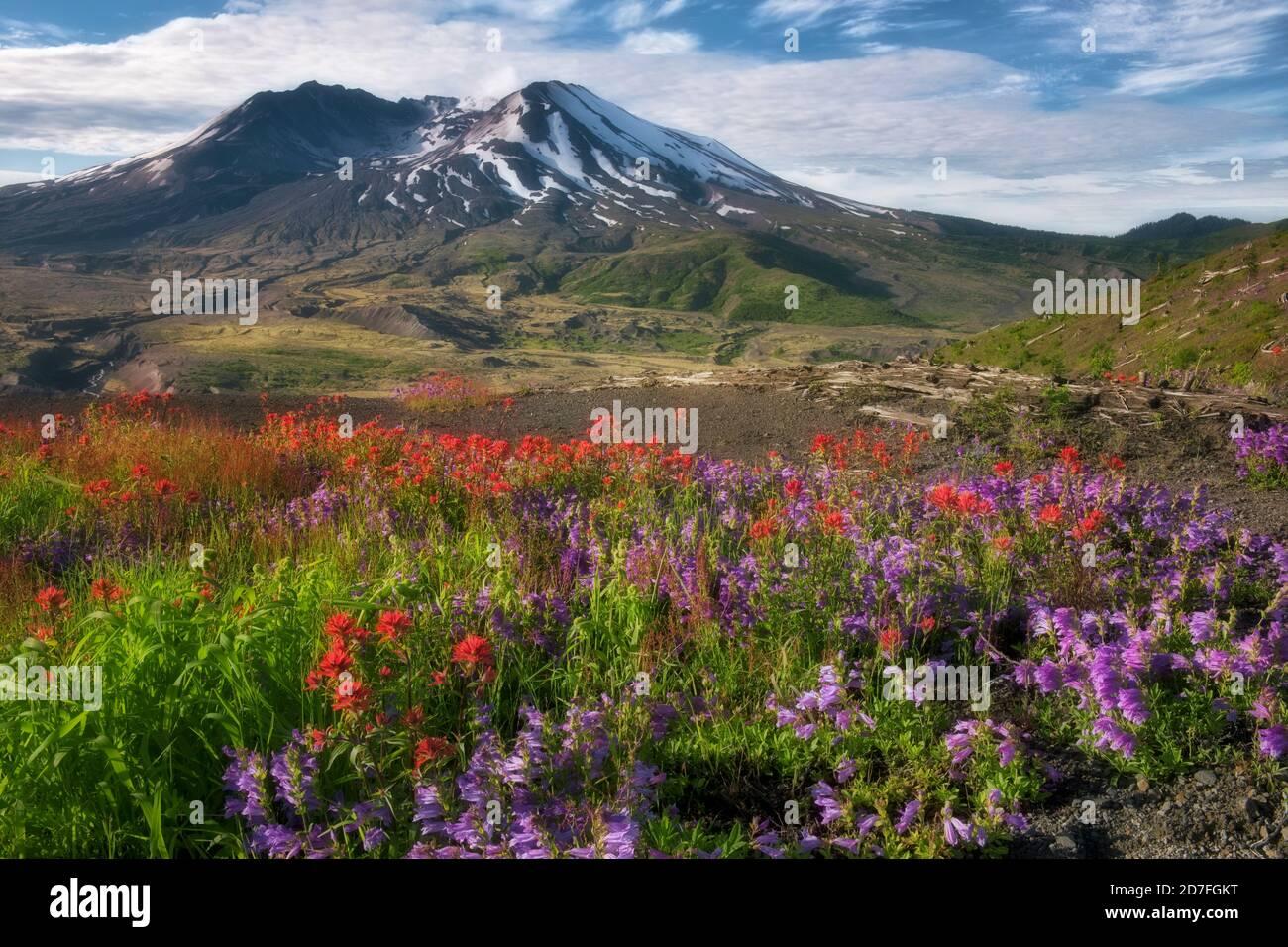 Émission matinale de gaz du Mont St Helens avec du rouge Pinceau indien et penstemon violet fleurissant le long de Johnston Ridge dans Le mont St Helens de Washington Banque D'Images