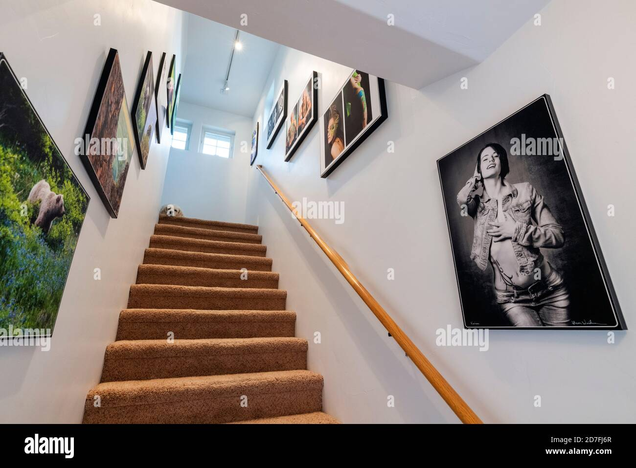 Escalier de bureau décoré avec la faune et le portrait de tatouage reproductions photographiques Gicleé. Chien Golden Retriever de couleur platine en haut des marches. Banque D'Images