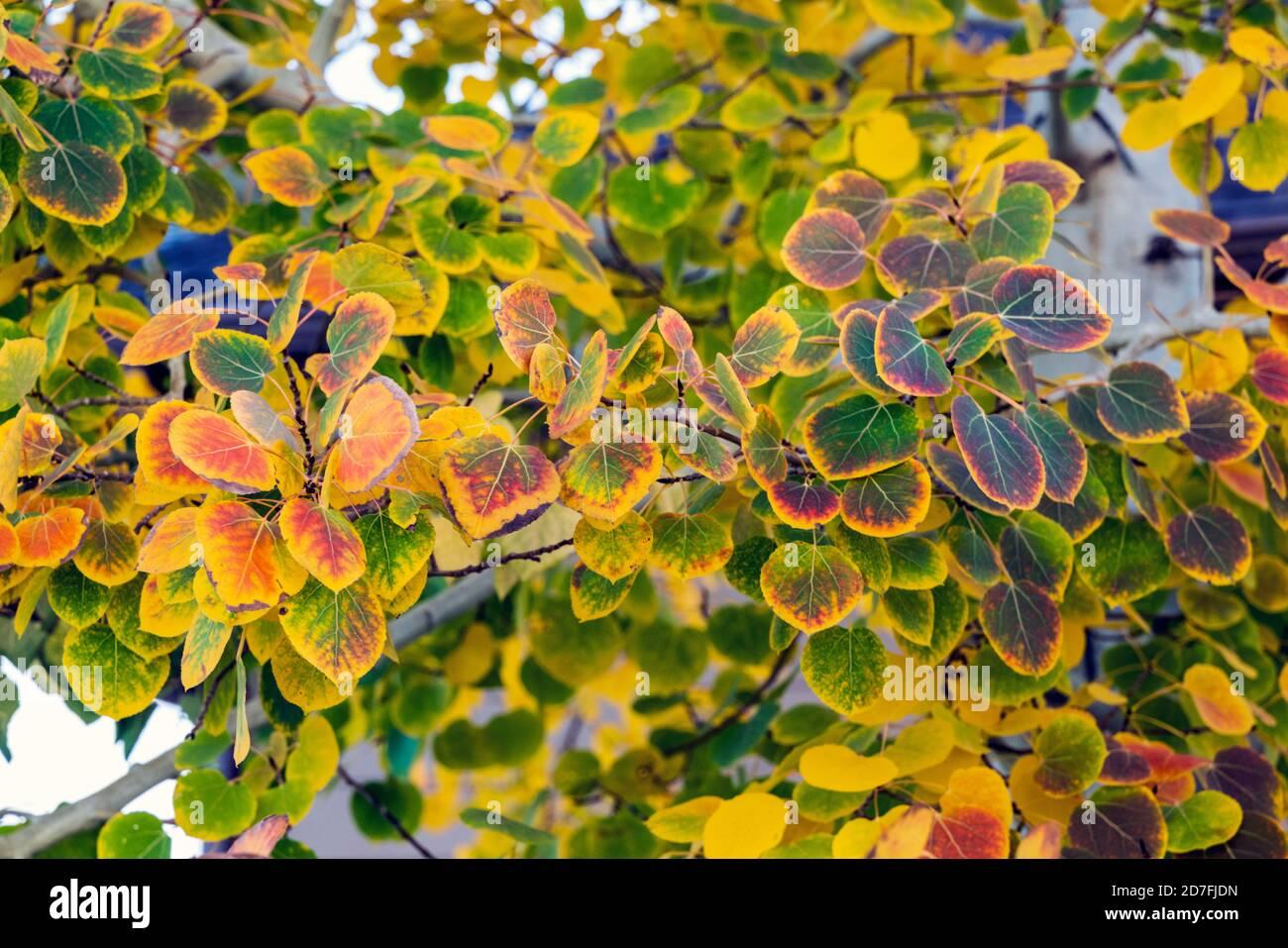 Tremble feuilles en automne couleur Banque D'Images