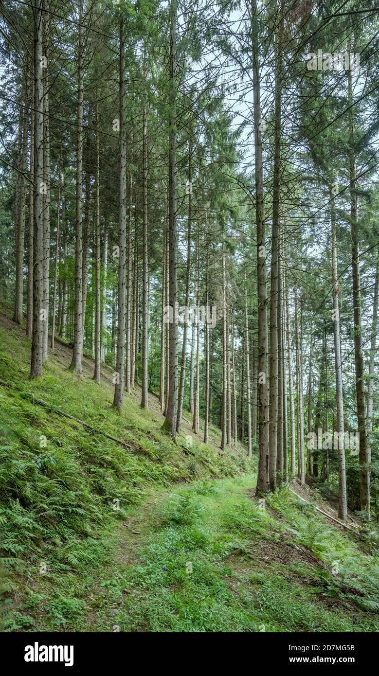 Paysage avec piste verte sur la pente parmi les grands arbres dans les bois, tourné en lumière d'été près d'Ibach, Forêt Noire, Baden Wuttenberg, Allemagne Banque D'Images