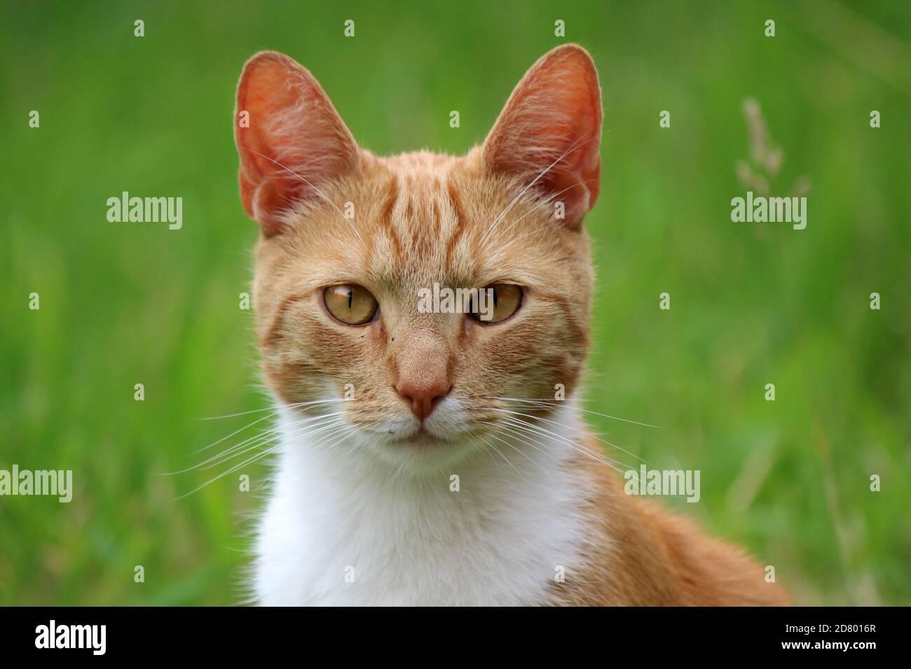 Portrait de chat au gingembre mignon. Fond vert. Photo d'été en plein air. Banque D'Images