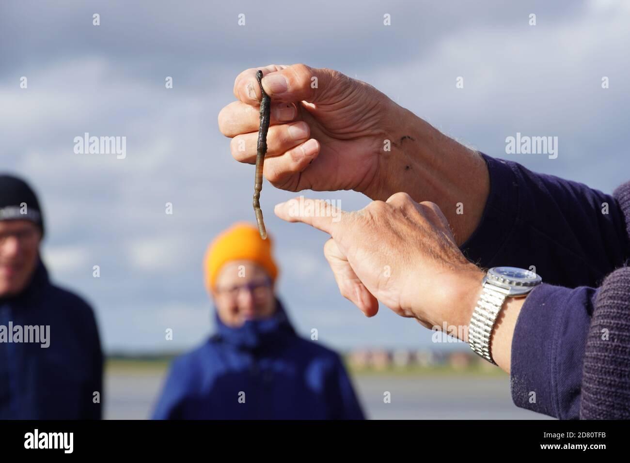 Lugworm dans les Mud Flats. Photo de haute qualité Banque D'Images