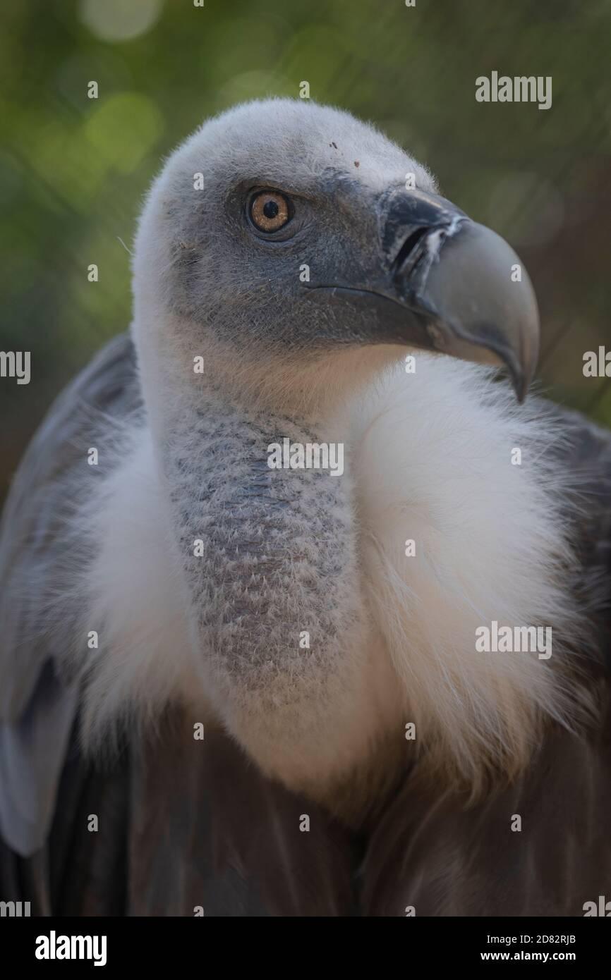 Rare Griffon vautour dans un zoo face à l'appareil photo, gros plan Banque D'Images