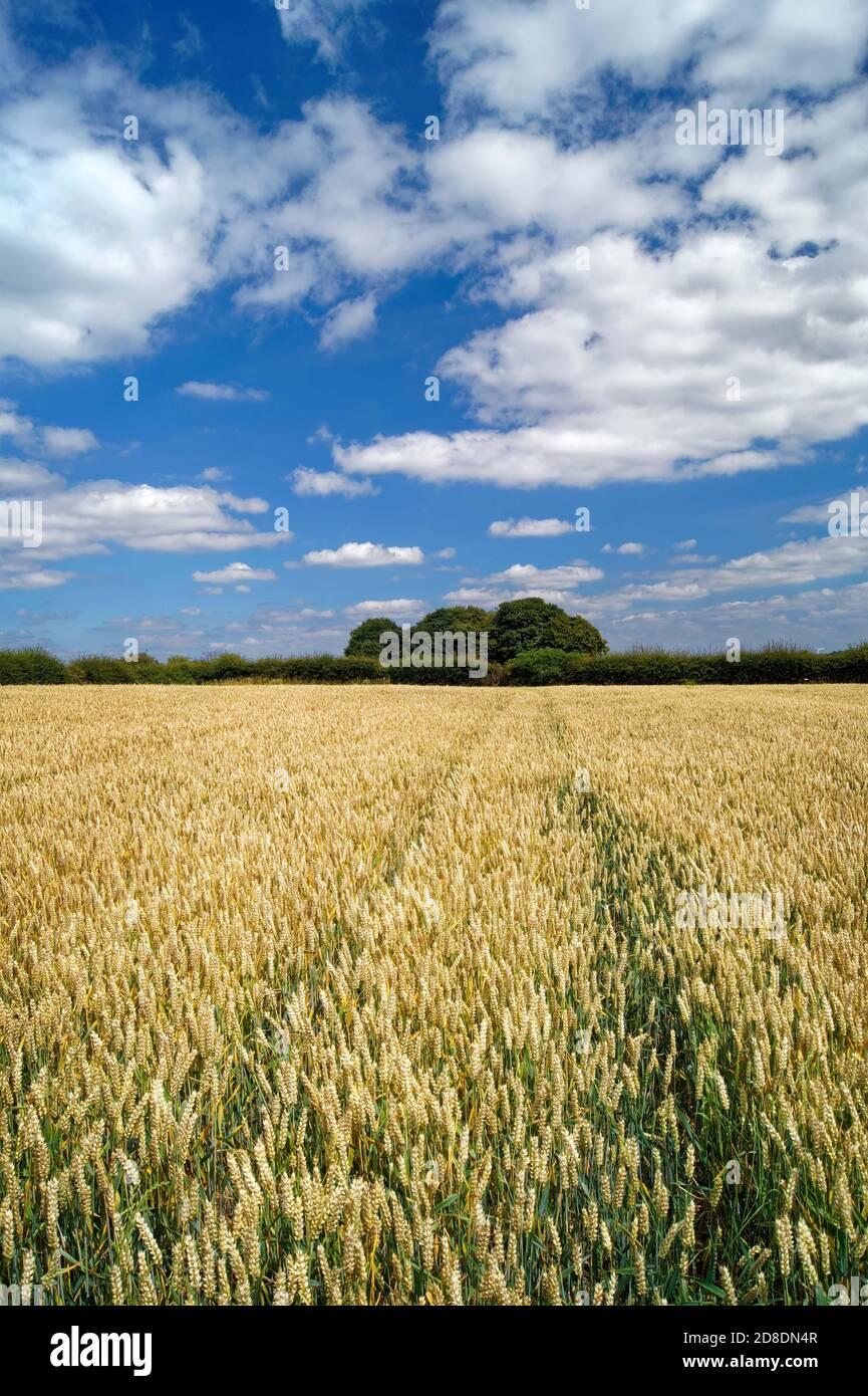 Royaume-Uni, Yorkshire du Sud, Doncaster, champ de blé près de Clayton Banque D'Images