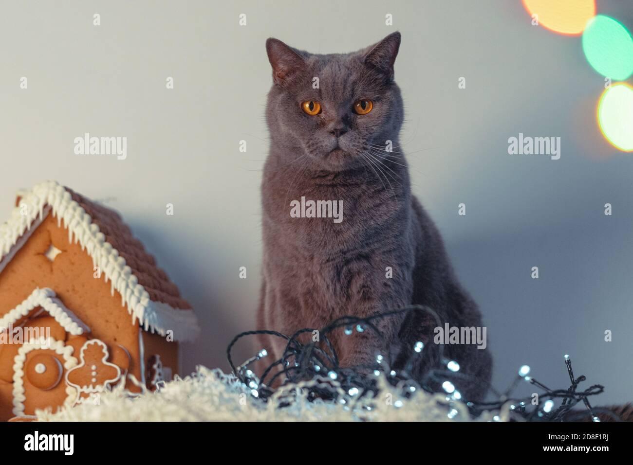 Mignon chat britannique frowning près de Gingerbread House et Garland. Carte de félicitations et d'invitation pour le nouvel an et Noël. Fond d'écran. Arrière-plan. Banque D'Images