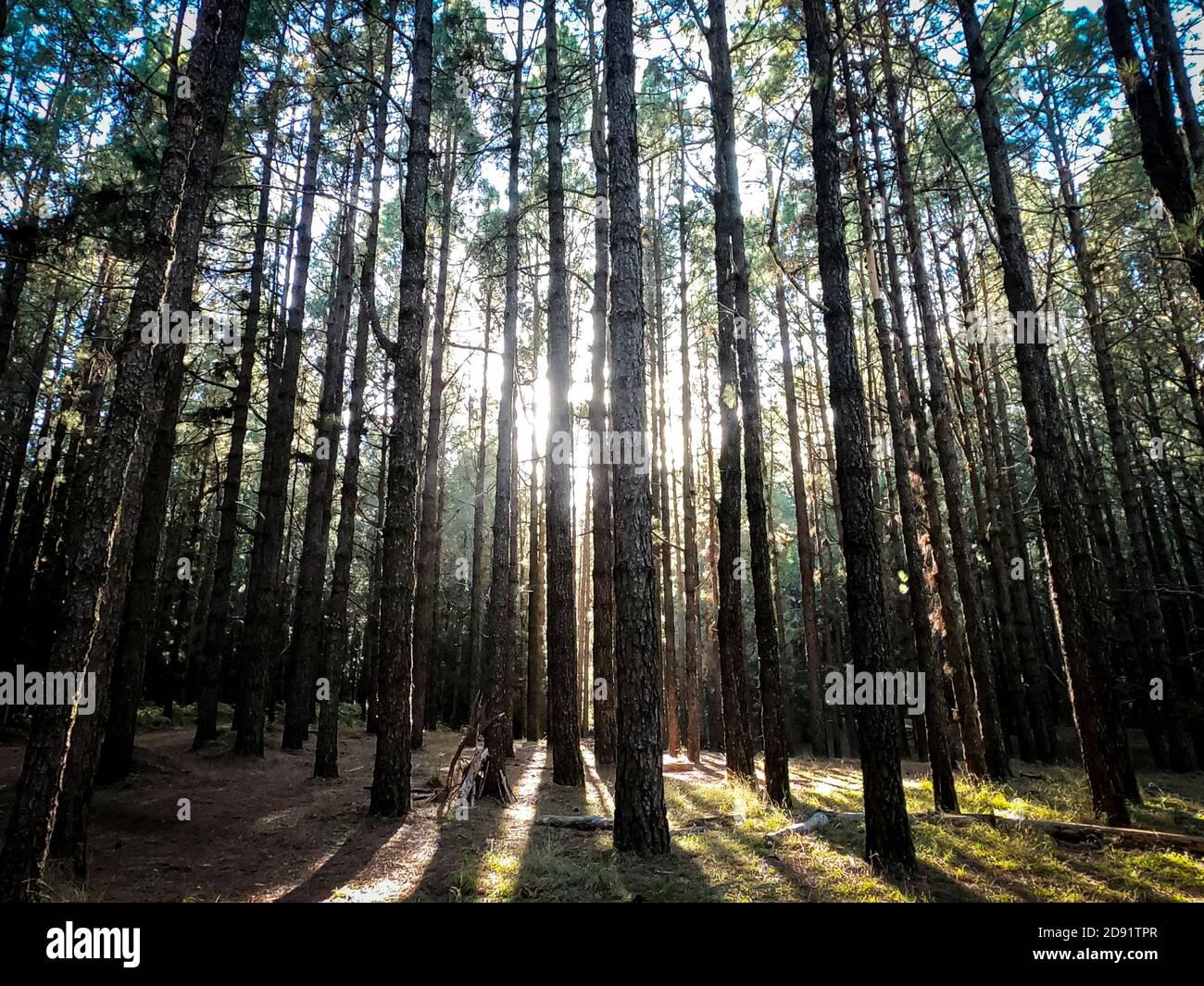 Bois de forêt avec hauts arbres pins fond Banque D'Images