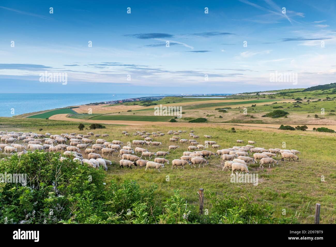 Éco-pâturage au Cap blanc-nez en été, pas de Calais, France Banque D'Images