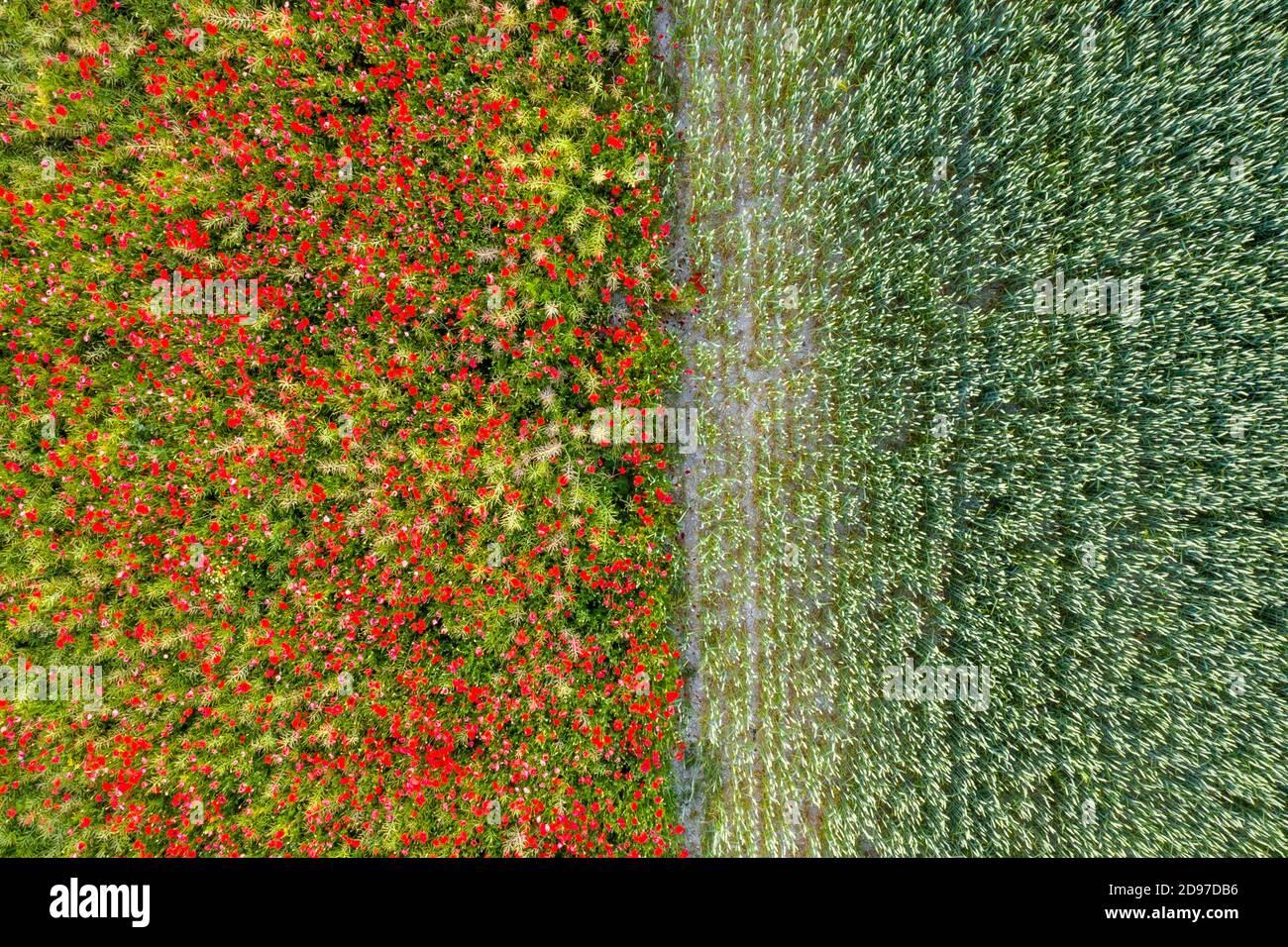 Coquelicots dans un champ de colza adjacent à un champ de blé, printemps, pas de Calais, France Banque D'Images