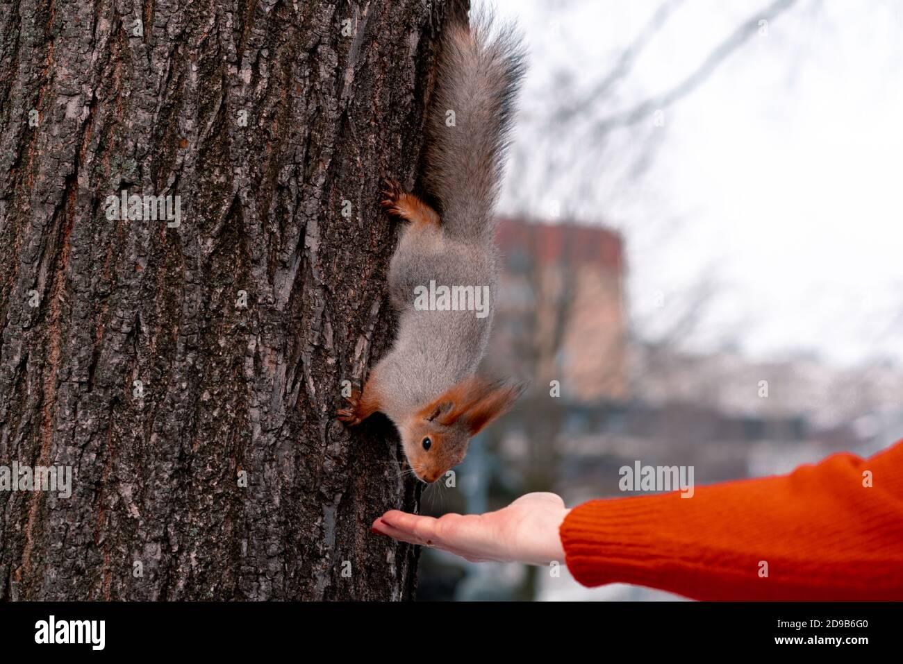 Femme Senior Alimentation Squirrel En Parc Après L'Exercice Matinal Et La Course. Détente Et Mode De Vie Actif Au Moyen-Âge. Banque D'Images