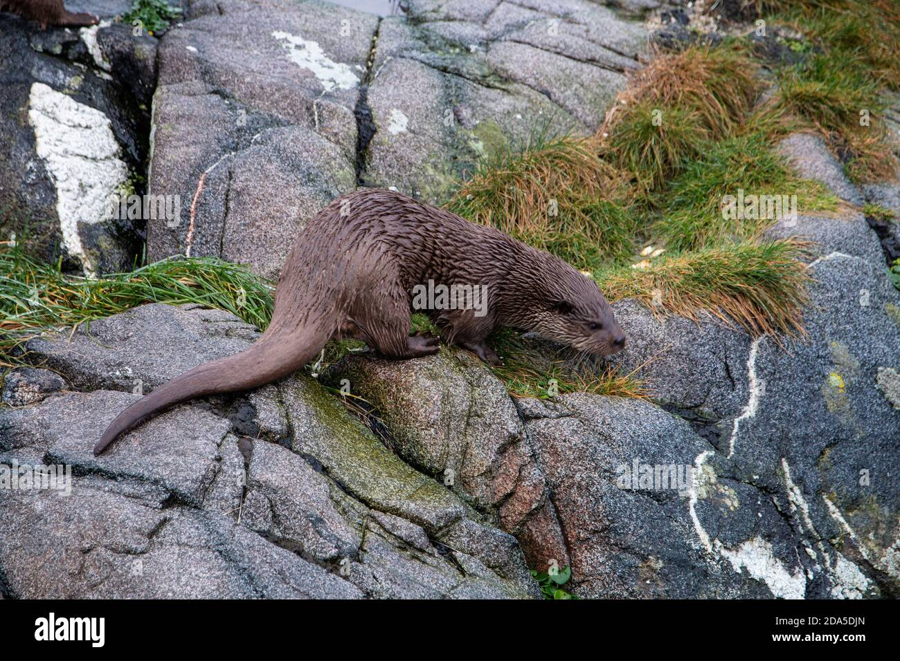 La loutre norvégienne Lutra lutra est un carnivore semi-aquatique dans le Mustelidae trouvé le long de la côte norvégienne et le long des rivières menant jusqu'aux fjords Banque D'Images