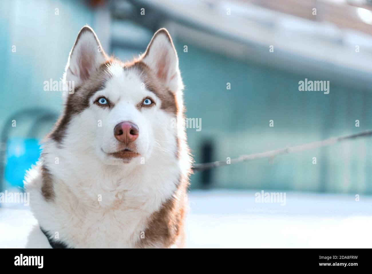 Mignon chien Husky à au spectateur avec ses grands yeux bleu vif. Concept de bien-être des animaux, l'amitié et l'amour de l'animale et humaine. Banque D'Images