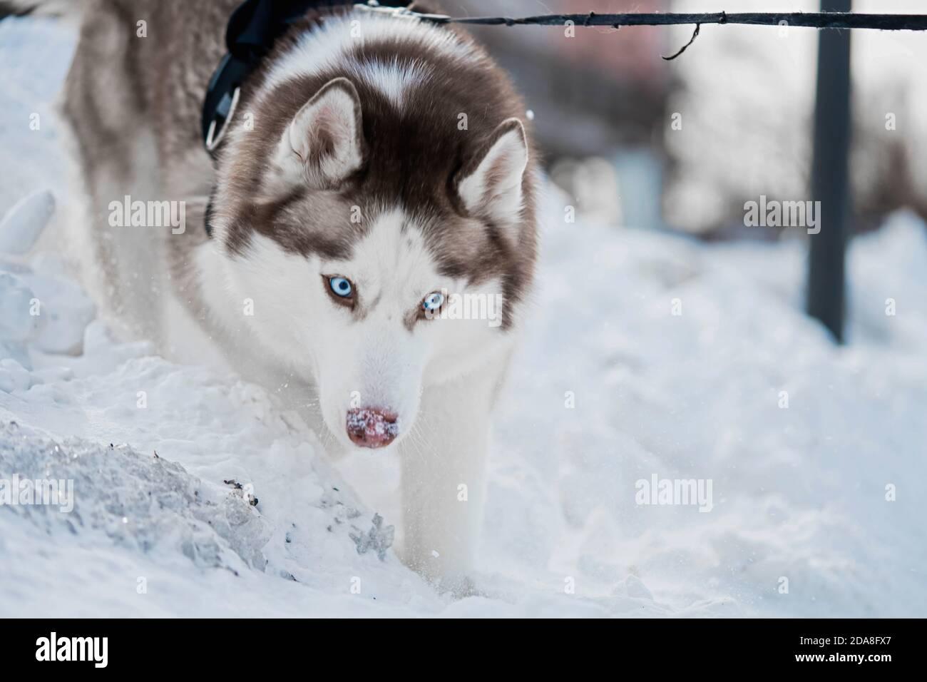 Chien Husky mignon avec grands yeux bleus marchant dans un parc contemporain moderne le jour de l'hiver. Banque D'Images