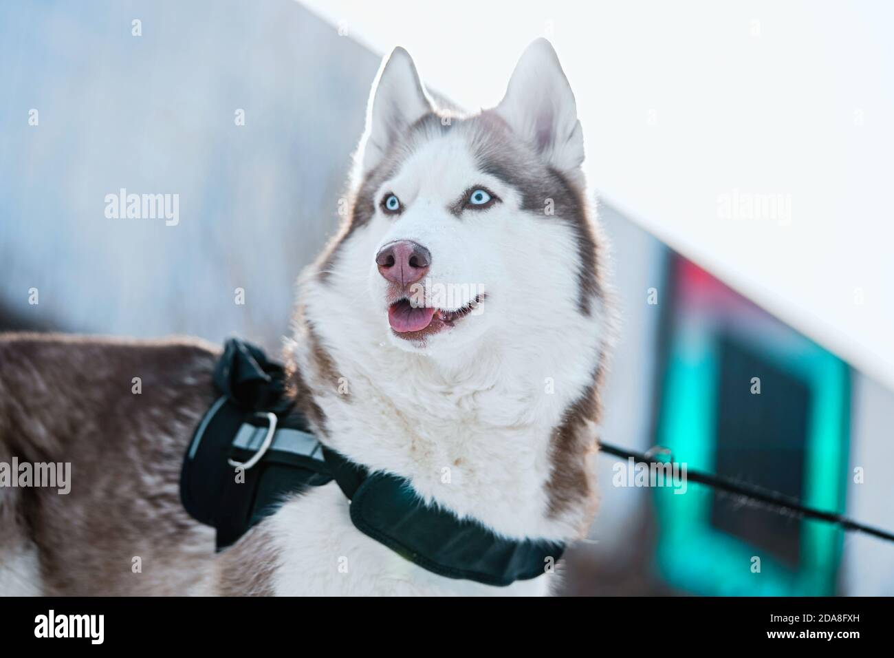 Magnifique chien Husky avec les yeux bleus à pied dans un parc contemporain moderne le jour de l'hiver. La vie après le refuge. Banque D'Images