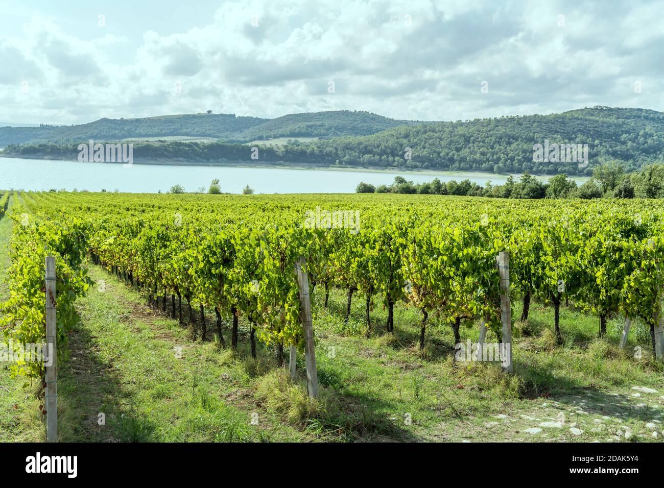 Rangées de vignes dans un paysage rustique vert près de la rive, prises en lumière vive au lac Corbara, Ombrie, Italie Banque D'Images