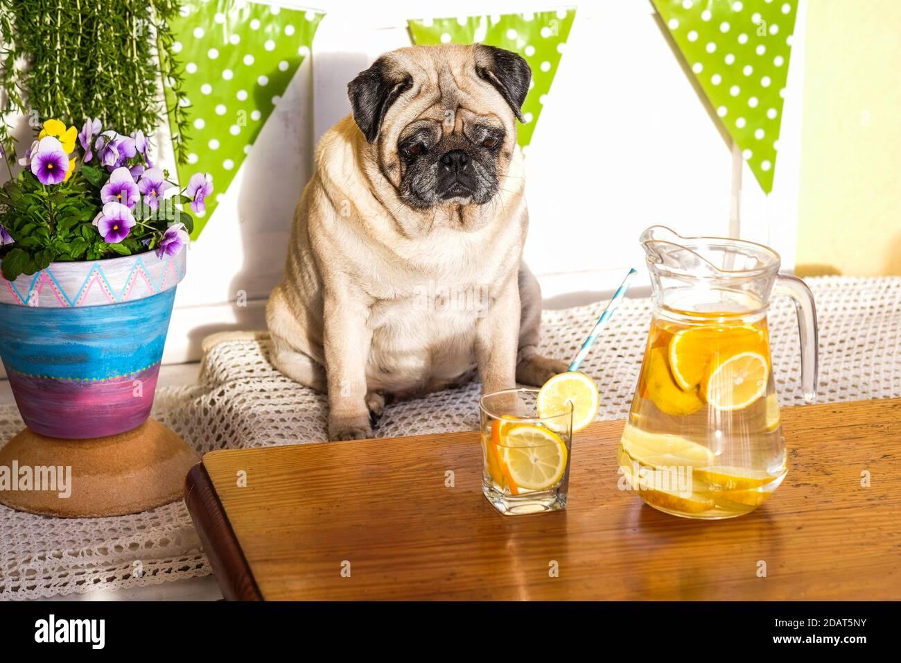 Joli chien drôle de pug regardant une limonade saine de régime sur la table . concept de perte de poids avec l'animal - mode de vie sain et boisson d'eau Banque D'Images