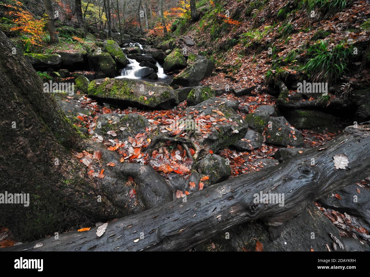 Le Wish Tree à Padley gorge, dans le Peak District. Les gens ont martelé des pièces de monnaie dans le grain du bois pour un bon souhait de chance. Banque D'Images