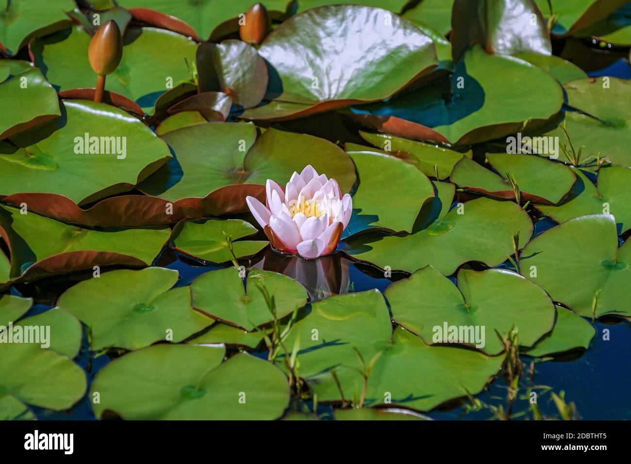 Fleur de nénuphars flottant et coussins dans l'étang Banque D'Images