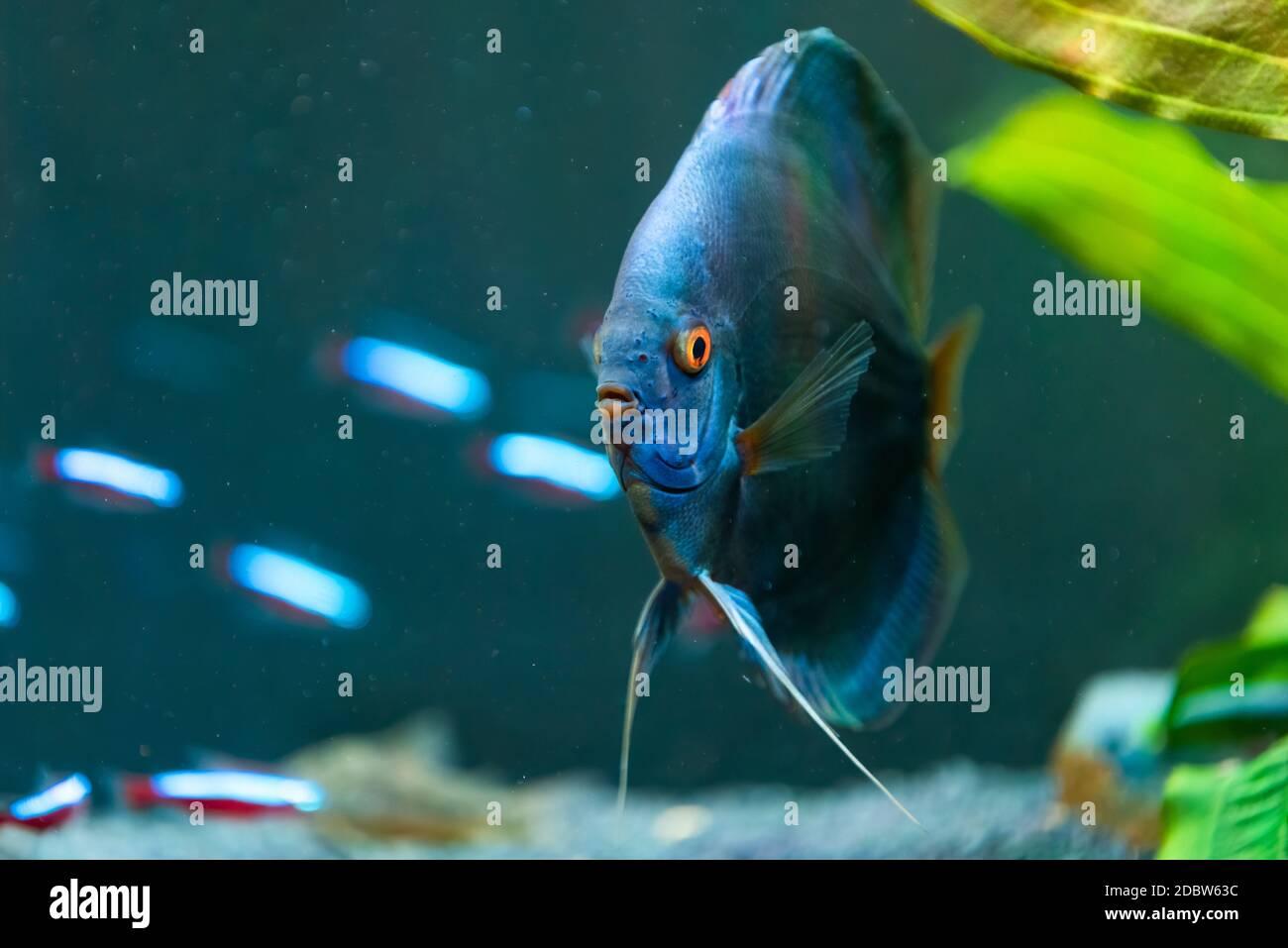 Gros plan d'un poisson bleu tropical Symphysodon discus dans un bassin de poissons. Arrière-plan de mise au point sélective. Banque D'Images