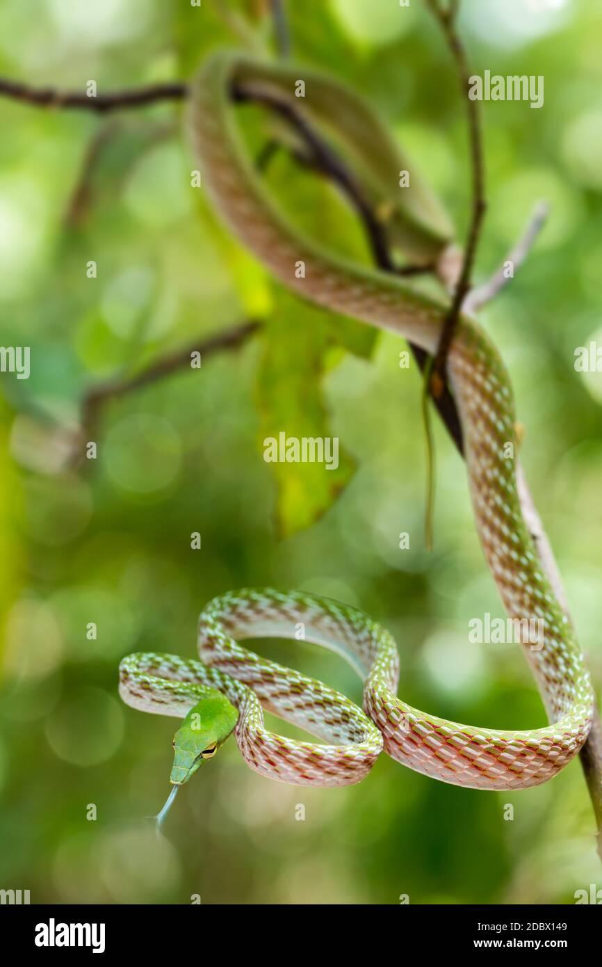 Serpent à tête blanche oriental ou serpent à vigne asiatique sur arbre, (Ahaetulla prasina) Parc national de Tangkoko. Sulawesi, Indonésie, faune Banque D'Images