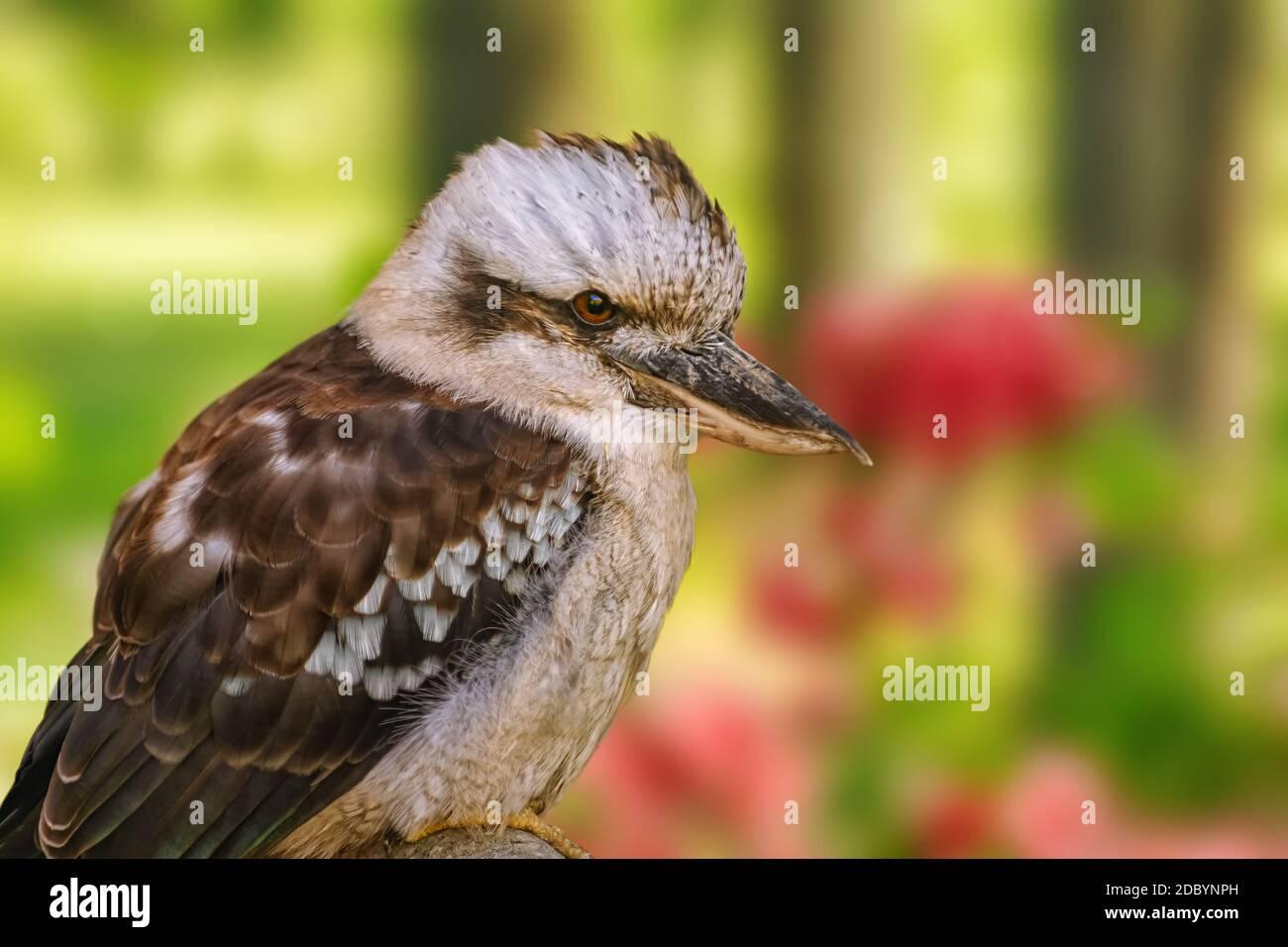 Kookaburras, pêcheurs terrestres d'arbres du genre Dacelo Banque D'Images