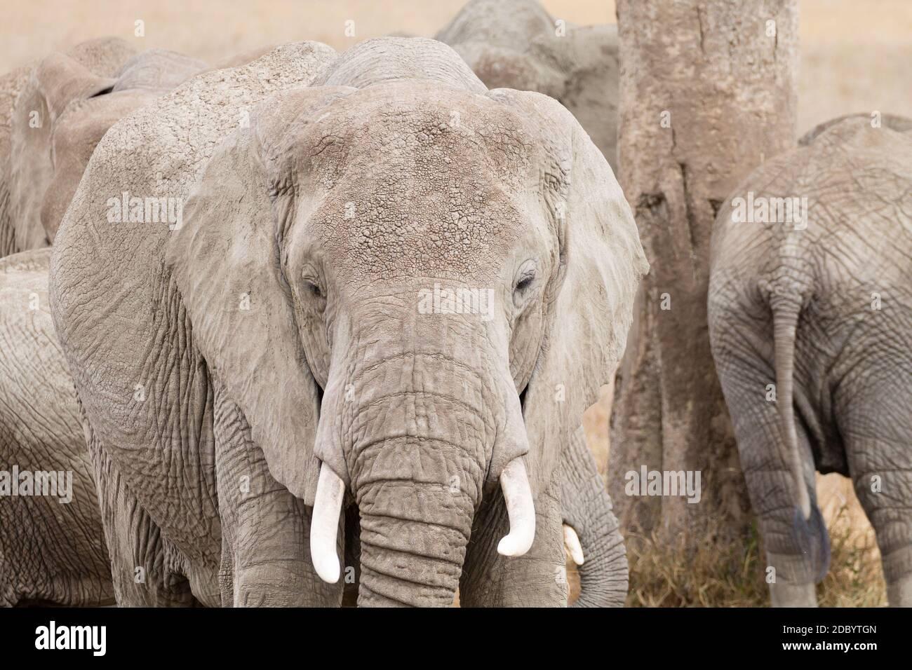 Troupeau d'éléphants du Parc National de Serengeti, Tanzanie, Afrique. La faune africaine Banque D'Images