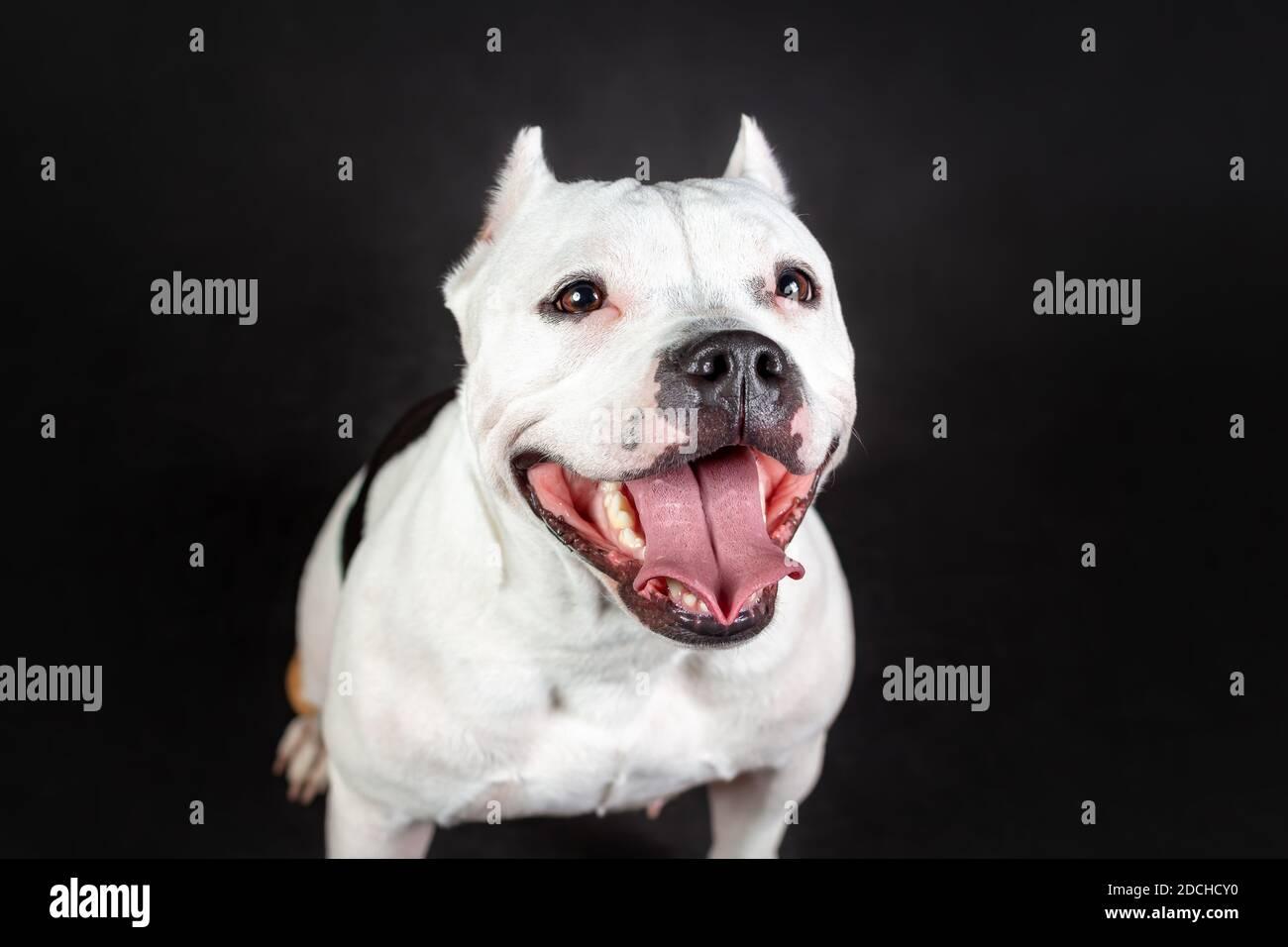 Gros plan sur le visage souriant et amusant de la jeune femme chien taureau américain de couleur noir et blanc Banque D'Images