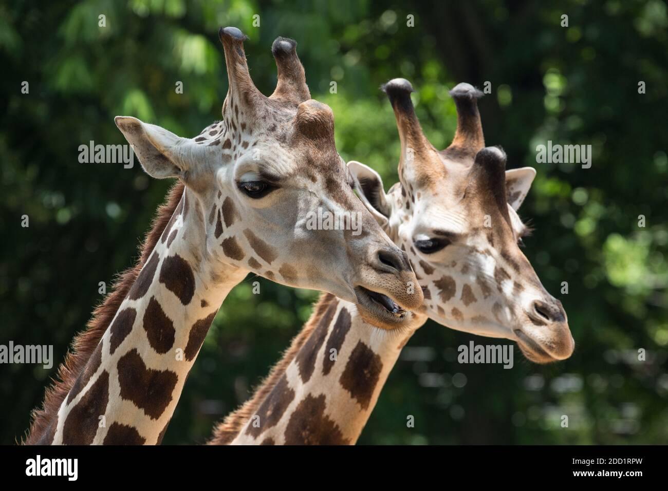 Melman et Mandela sont deux girafes réticulées dans le zoo de la vallée de l'Emporer à Port of Spain, Trinidad. Banque D'Images