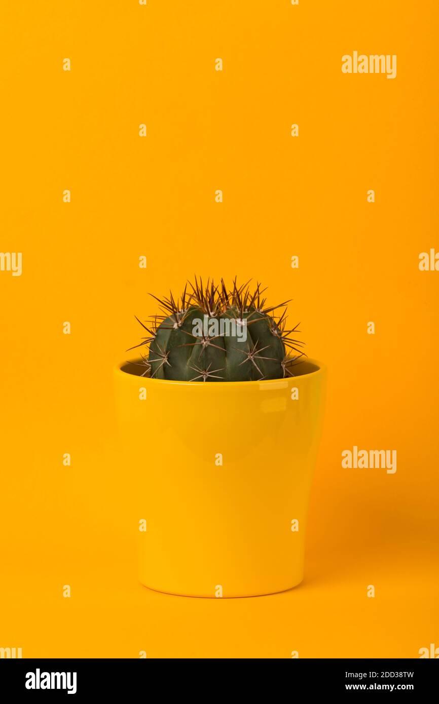 Petit mélocactus azureus cactus en pot de fleur jaune sur jaune arrière-plan Banque D'Images