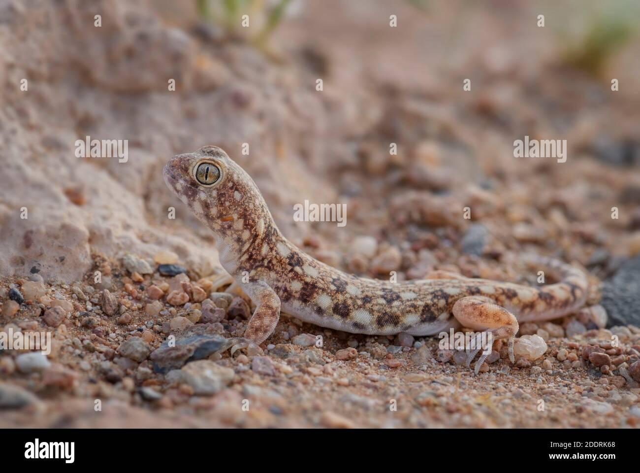 Gecko aboyant de Koch - Ptenopus kochi, un bel lézard issu du désert endémique en Namibie. Banque D'Images