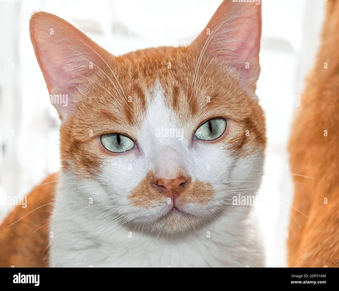 Chat à œil bleu regardant un appareil photo avec une fourrure blonde et blanche douce. Banque D'Images