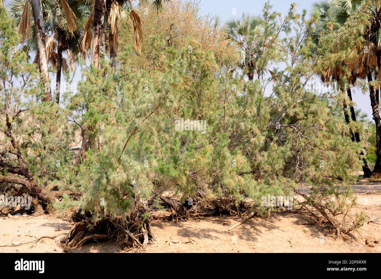 Le tamarisque sauvage (Tamarix usneoides) est un arbuste à feuilles persistantes ou un petit arbre originaire de l'Afrique australe. Cette photo a été prise à Epupa Falls, Namibie. Banque D'Images